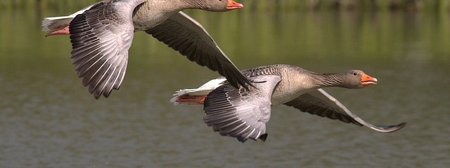 canada-geese-348290_640